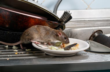 rat eating on plates
