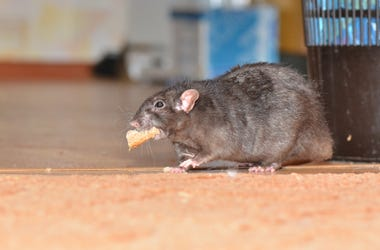 rat with food