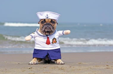 pug dog in sailor costume on beach