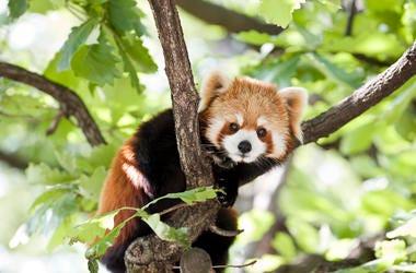 red-panda-GettyImages-147050490.jpg