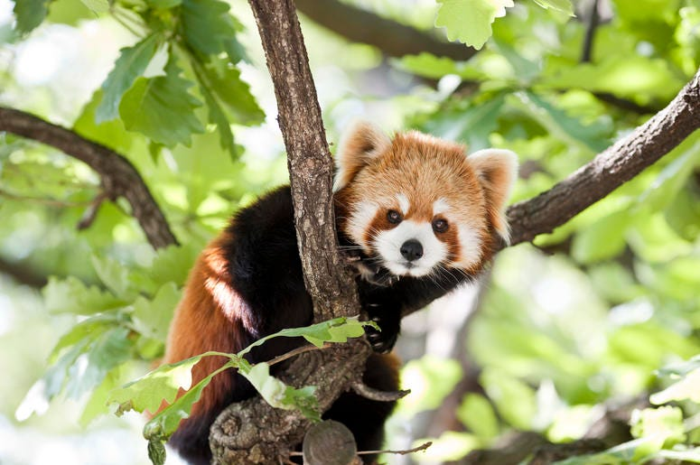 red-panda-GettyImages-147050490.jpg