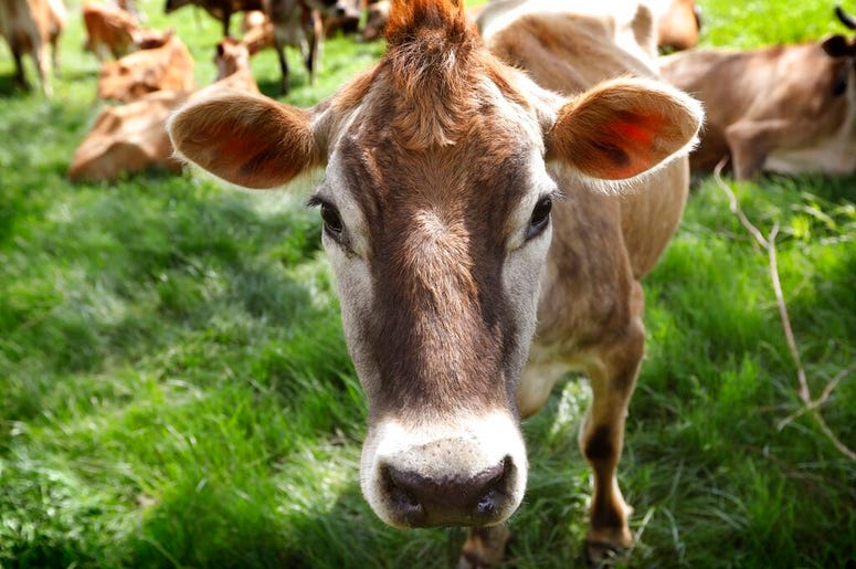Climate_Change_Cow_Farts