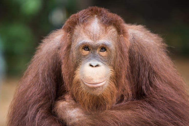 Sandra the Orangutan