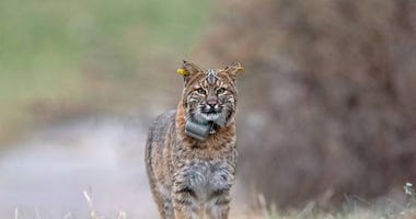Bobcat with DEEP GPS collar and yellow ear tags.