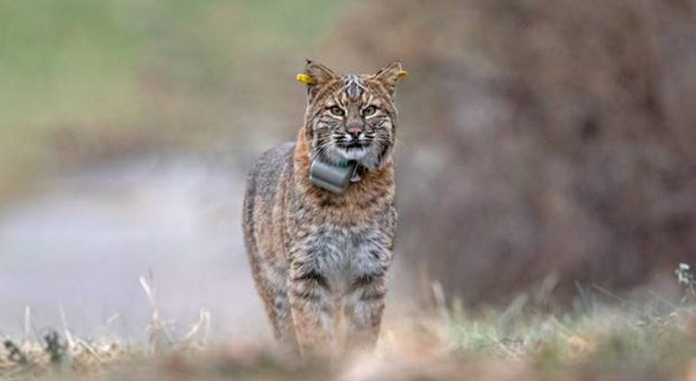 Bobcat with DEEP GPS collar and yellow ear tags.