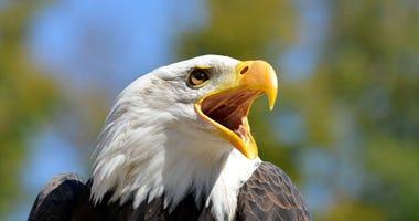 Bald eagle with open beak