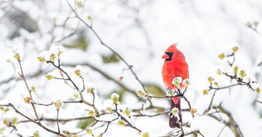 cardinal-winter-GettyImages-1073356412.jpg