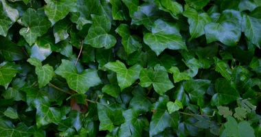 green-ivy-GettyImages-1166140317.jpg