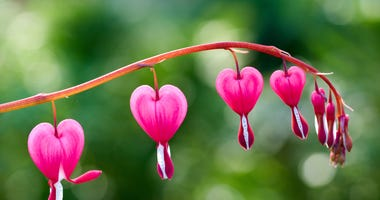 bleeding-hearts-GettyImages-940932986.jpg