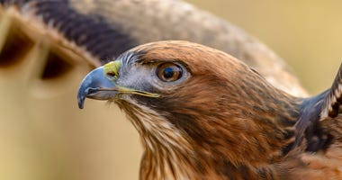 red-tailed-hawk-GettyImages-951287518.jpg