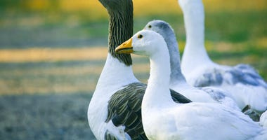 geese-dreamstime_s_5823242.jpg