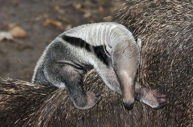 Giant anteater (Myrmecophaga tridactyla) baby