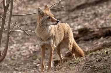 Coyote, Wildlife, Attacks, Chicagoland