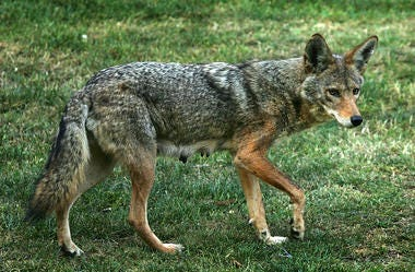 Coyote, Wildlife, Attacks, Chicagoland, Captured