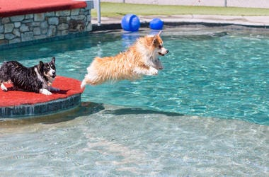 Corgis swimming