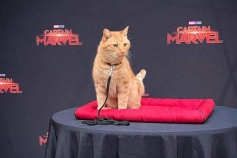 Reggie the cat plays Goose in Captain Marvel