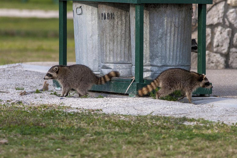 Raccoons In The Garbage