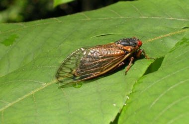 Zombie Cicadas, 2020, Fungus, Infection, Hallucinogenic,