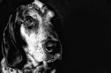 Coonhound dog