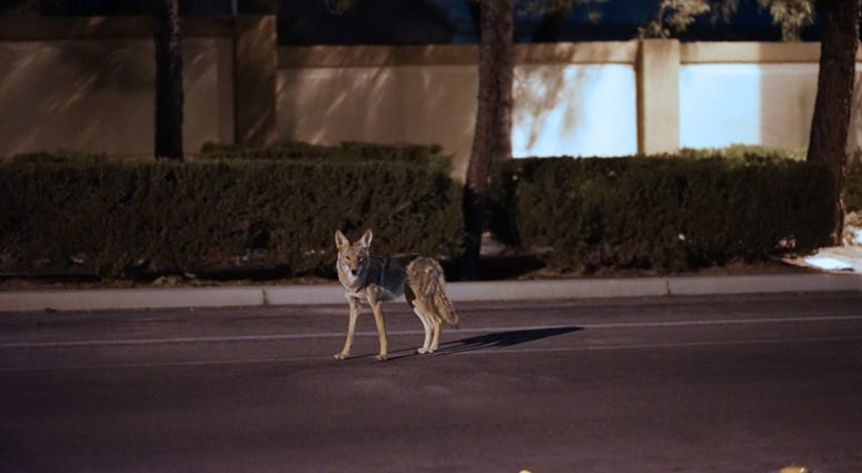 Coyote in the suburbs