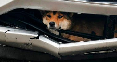 Coco, a Shiba inu, is trapped inside the bumper of a car