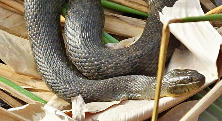 Florida Green Water Snake