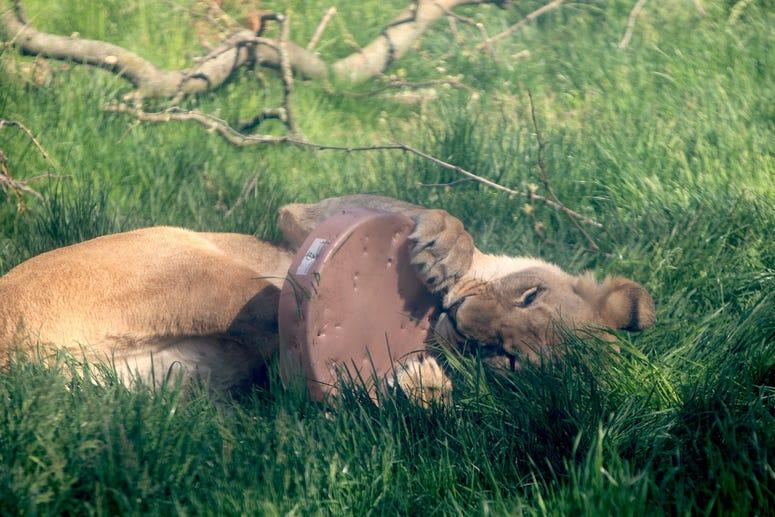 Detroit Zoo Lioness