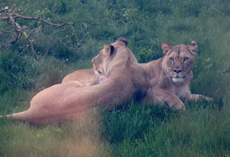 Lionesses - Asha and Amirah