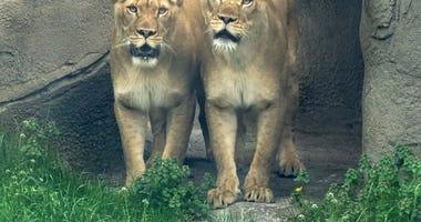 Detroit Zoo Lions - Asha and Amirah