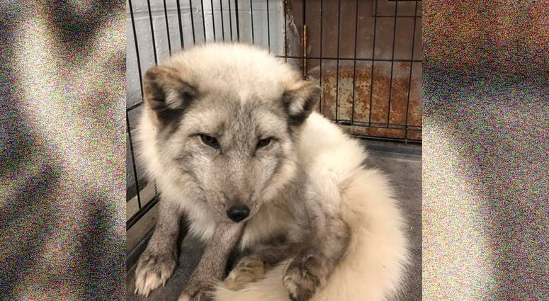 South Lyon Arctic Fox