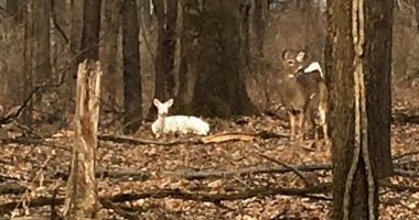 albino deer with fawn