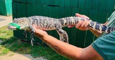 alligators in Eastpointe