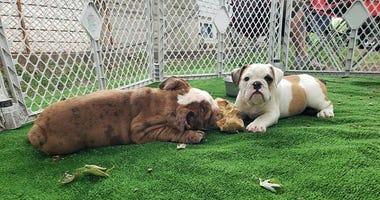 bull dog puppies - Hooligan Bullies LLC