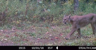 cougar in Michigan