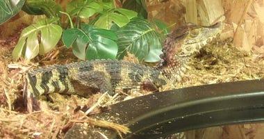 escaped alligator clinton township