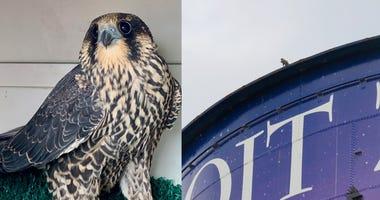 falcon at zoo