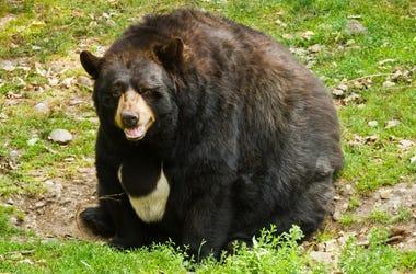 fat black bear
