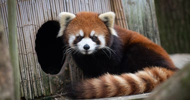 Kora the red panda is missing from the Columbus Zoo