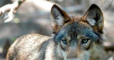 gray wolf AP