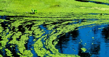 algae on a lake