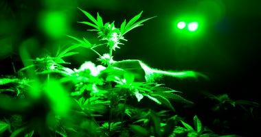 marijuana AP