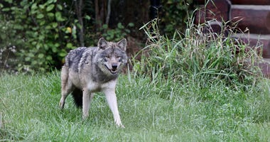 Detroit Zoo wolf