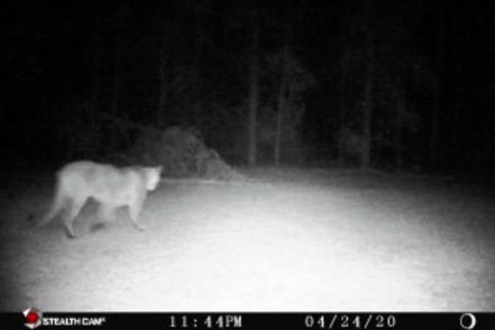 cougar sighting in Michigan