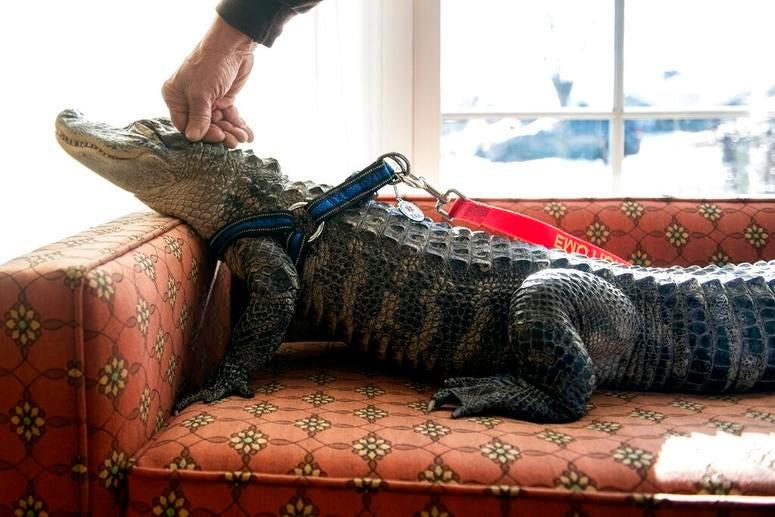 emotional alligator