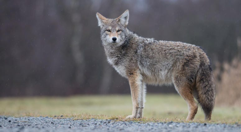 Coyote Walks Right Up To Shelby Township Home [PHOTOS]