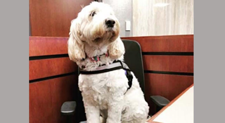 Izzy The Therapy Dog