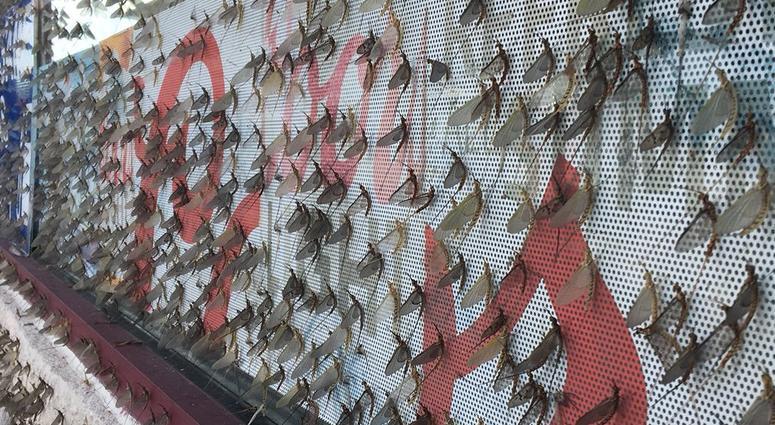 fishflies