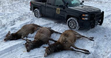 Tips wanted after three more elk poached in northern Michigan