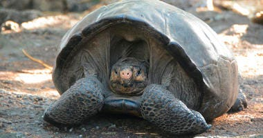 Chelonoidis phantasticus tortoise