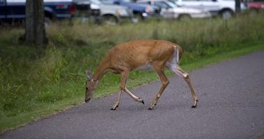 Deer in parking area